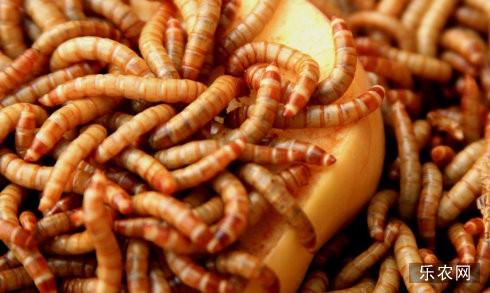 饲养黄粉虫要哪些条件