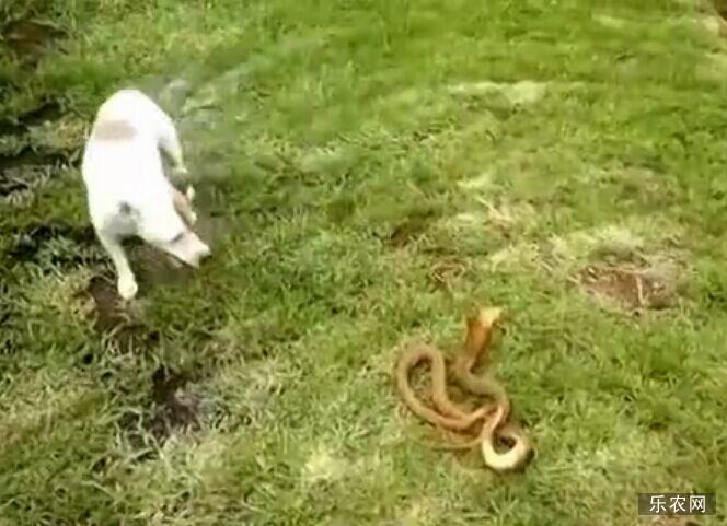 小狗大战眼镜蛇 对峙后咬头部将其甩死