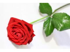 玫瑰花图片一