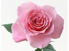 玫瑰花图片二