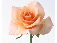 玫瑰花图片三