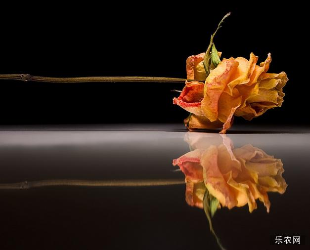 玫瑰花泡水喝的功效