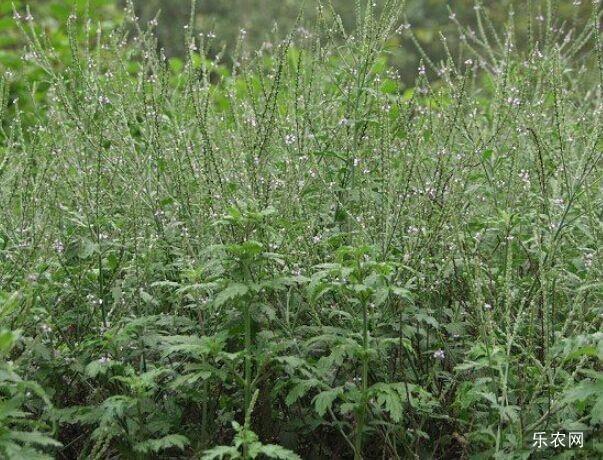 马鞭草种植技术