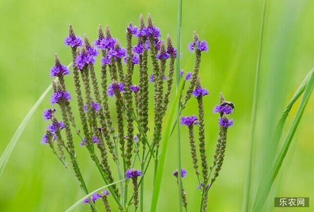 马鞭草的副作用 服食马鞭草有哪些危害