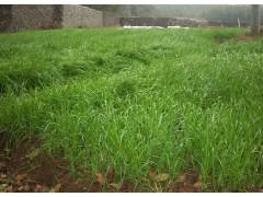 黑麦草图片二