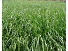 黑麦草图片五