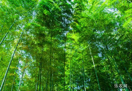 毛竹自然习性与毛竹生长习性