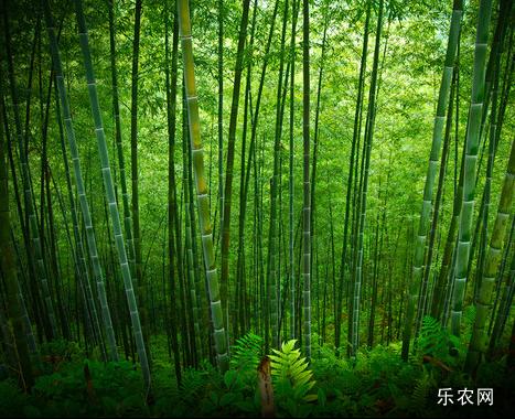 毛竹种植技术 毛竹栽培技术