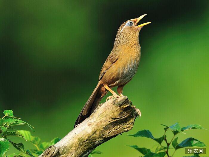 画眉鸟的饲养 画眉鸟吃什么东西