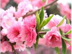 樱花图片一