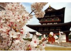 樱花图片二
