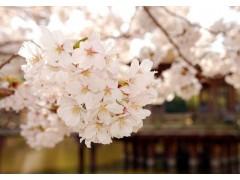 樱花图片三