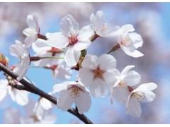 樱花图片四
