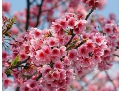 樱花图片五