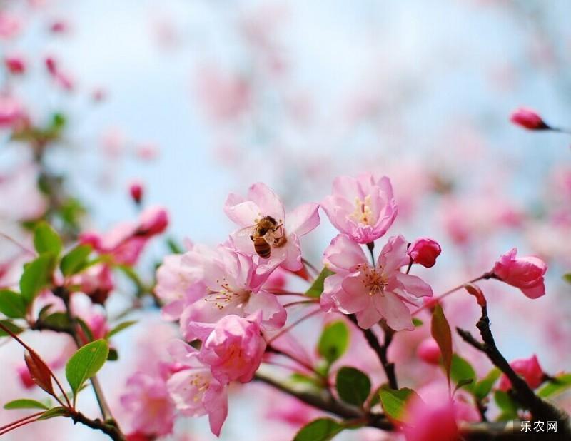 日本樱花的传说 樱花的传说是真的吗