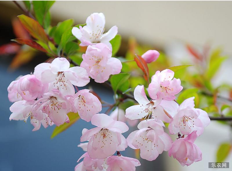 樱花种植方法 樱花种植技术 樱花怎么管理