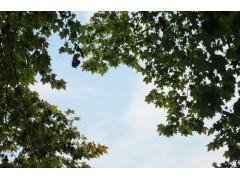 梧桐树图片二