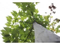 梧桐树图片三