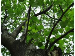 梧桐树图片五