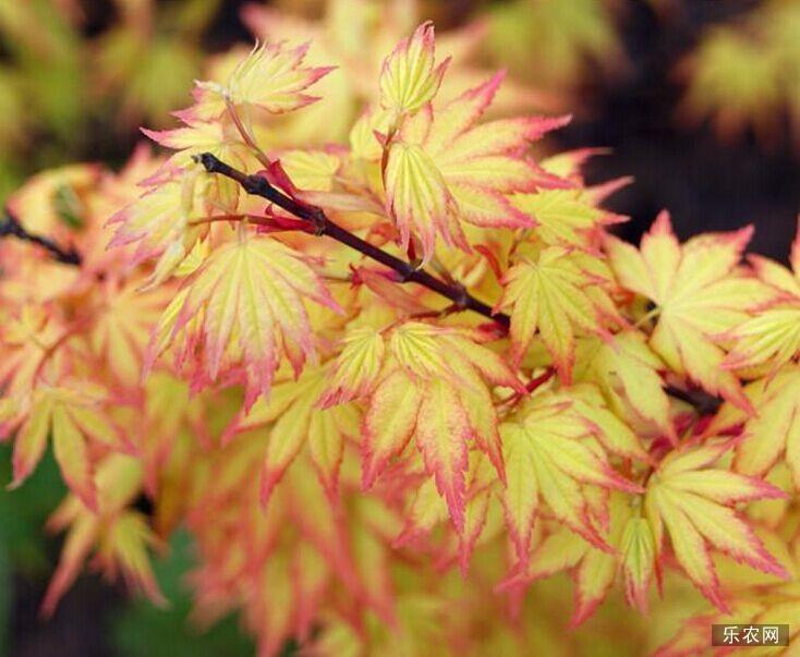 日本红枫蝴蝶枫的种植技术