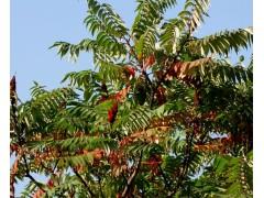 椿树图片二