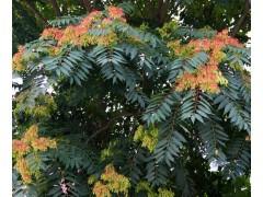 椿树图片三