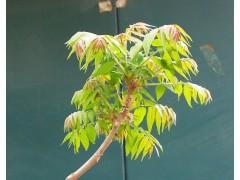 椿树图片四