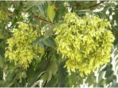 椿树图片五