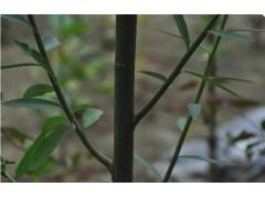 美国竹柳图片二