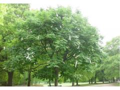 七叶树图片一