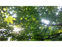 七叶树图片三