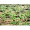 出售已栽种4年的花椒树大量