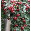 供应山楂树、3-9公分山楂树、山西山楂树、销售山楂树