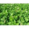 郑州优质的白三叶种子供应
