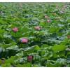 荷花、睡莲、芦苇等水生植物种苗 睡莲苗、荷花苗、芦苇苗