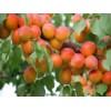 安徽砀山大量供应樱桃、早晚巴达杏、金太阳