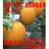 供应瑞红洋香瓜