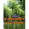 咸宁6-15公分香樟价格,截杆杀头香樟树,移栽樟树