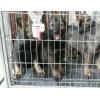 云南卖纯种昆明犬云南狗场常年卖纯种昆明犬