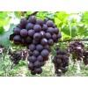 广西崇左市大新县大量供应巨峰葡萄