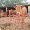 纯种鲁西黄牛牛犊 适合放养鲁西黄牛牛犊