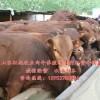 供应养殖利木赞牛牛犊  广西利木赞牛养殖基地