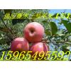 藤木苹果上市2015年山东早熟苹果价格