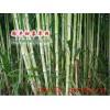 台湾甜象草种节批发_赠送全套种植技术