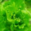 绿宫坊特色蔬菜生菜