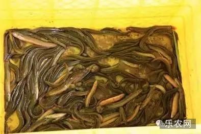 行稻田生态养殖泥鳅的技术