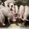 江苏沭阳仔猪价格仔猪市场供应