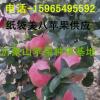 2017山东美八苹果价格美八苹果最新供应信息