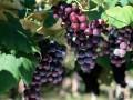 葡萄又名提子、蒲桃、草龙珠、山葫芦、李桃