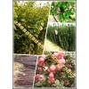 安徽宿州砀山大量供应矮化苹果苗